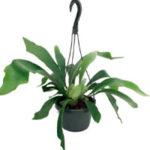 Папоротник — Экзотическое домашнее растение